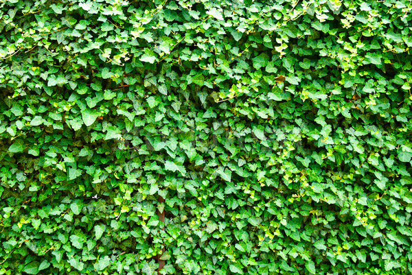 Wall of the leaves. Ivy (Hedera helix) Stock photo © vapi