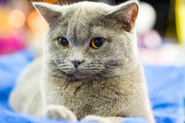 çok güzel gri kedi turuncu gözler oturma bakıyor Stok fotoğraf © vapi