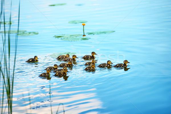 Pato família muitos pequeno natação rio Foto stock © vapi