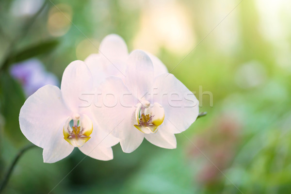 Purple Орхидеи тропические лес версия белый Сток-фото © vapi