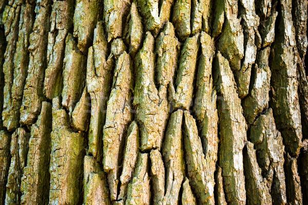 Texture of old oak tree Stock photo © vapi