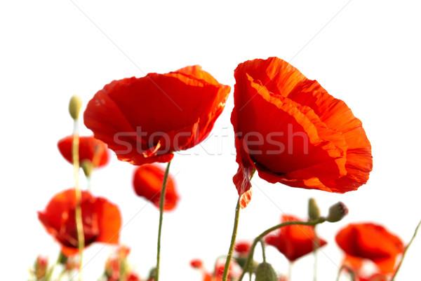 Beautiful red poppies Stock photo © vapi
