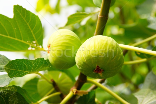 Green figs on the tree. Stock photo © vapi