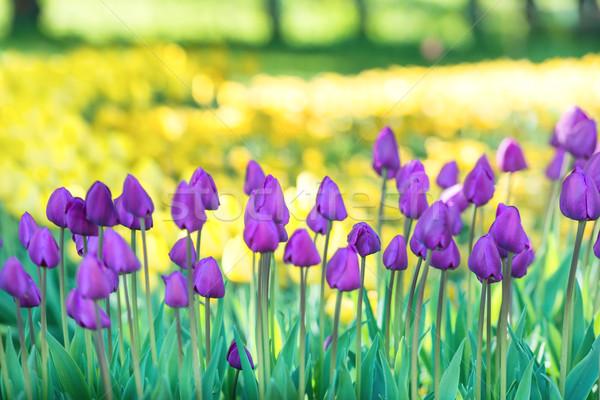 Mező sok orgona tulipánok park zöld Stock fotó © vapi