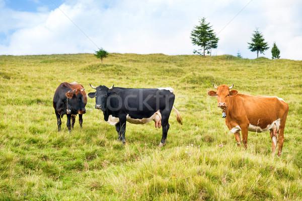 Cows on the green field Stock photo © vapi