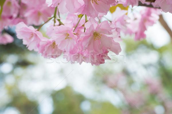 Rosa sakura flores primavera cereja árvore Foto stock © vapi