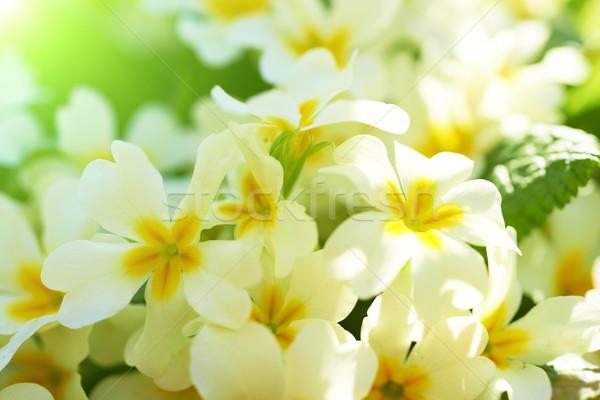 Foto stock: Primavera · flores · amarelas · flor · grama · floresta · sol
