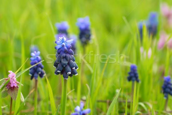 Grama verde azul flores flor grama sol Foto stock © vapi