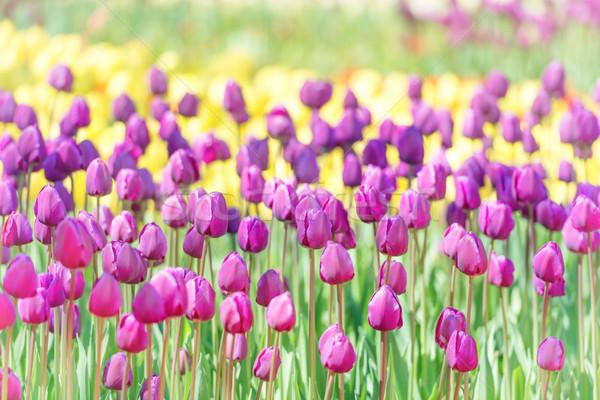 Mező sok orgona tulipánok zöld park Stock fotó © vapi