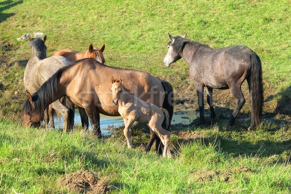 Stock photo: Herd of horses