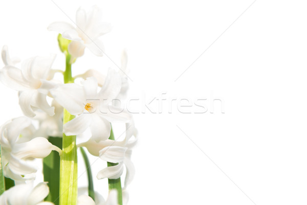 Lentebloem hyacint geïsoleerd witte studio macro Stockfoto © vapi
