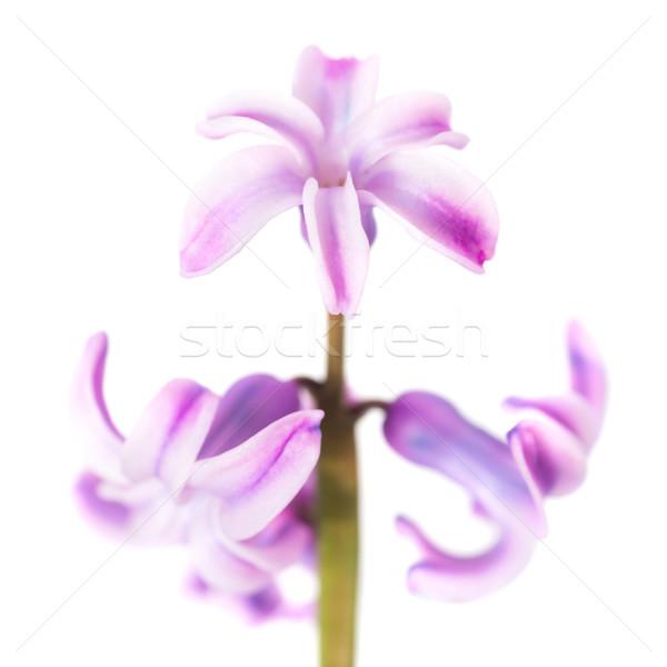 Tavaszi virág lila jácint izolált fehér stúdió Stock fotó © vapi