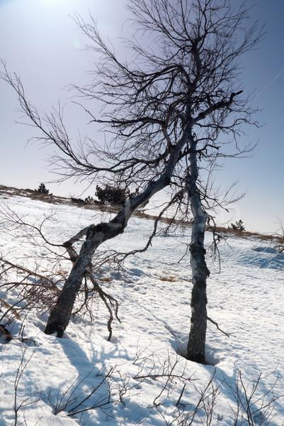 Bomen sneeuw zonneschijn boom gras zon Stockfoto © vapi