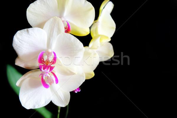 Witte roze orchideeën geïsoleerd zwarte bloemen Stockfoto © vapi