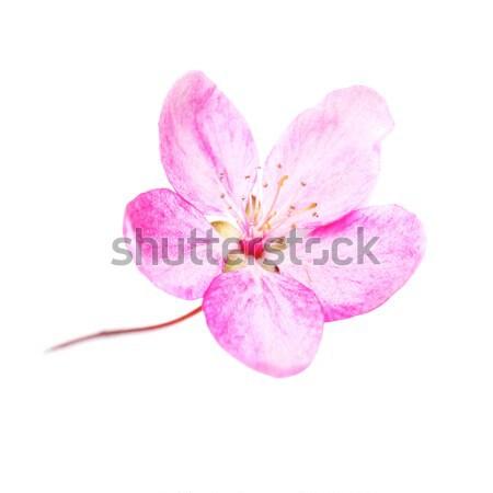 Flor-de-rosa isolado branco sakura árvore macro Foto stock © vapi