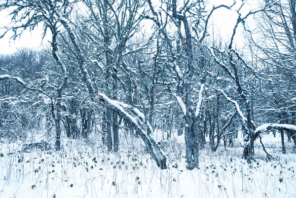 Winter landscape with icy trees. Stock photo © vapi