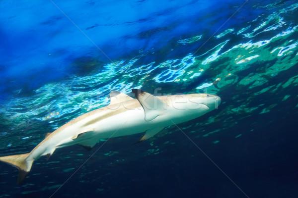 Karib cápa kék óceán víz hal Stock fotó © vapi