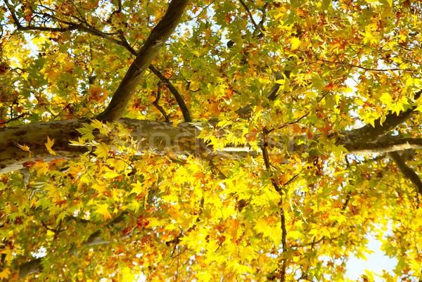 Jaune automne arbre résumé nature fond Photo stock © vapi