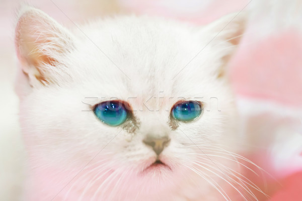Stock fotó: Kicsi · aranyos · szomorú · fehér · macska · kiscica