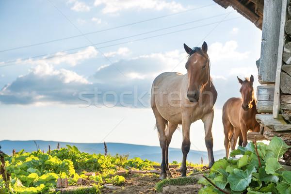 Horses grazing on a field Stock photo © vapi