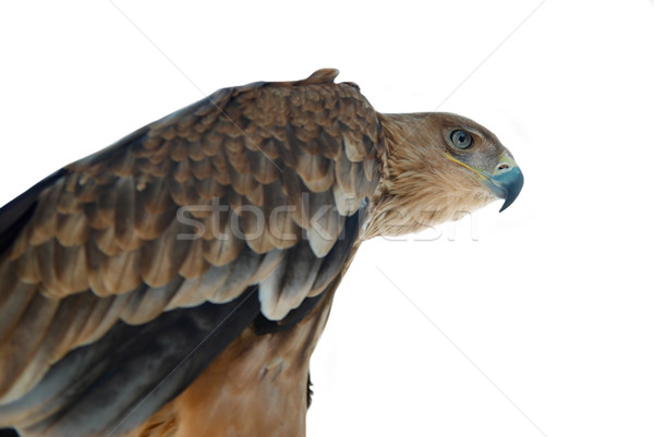 A hawk eagle isolated on white. Stock photo © vapi