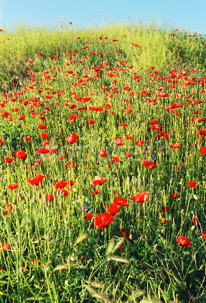 Field of poppy. Ukraine, Crimea, Khersones. Stock photo © vapi