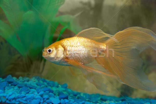 Tropicali pesce acquario occhi faccia Foto d'archivio © vapi