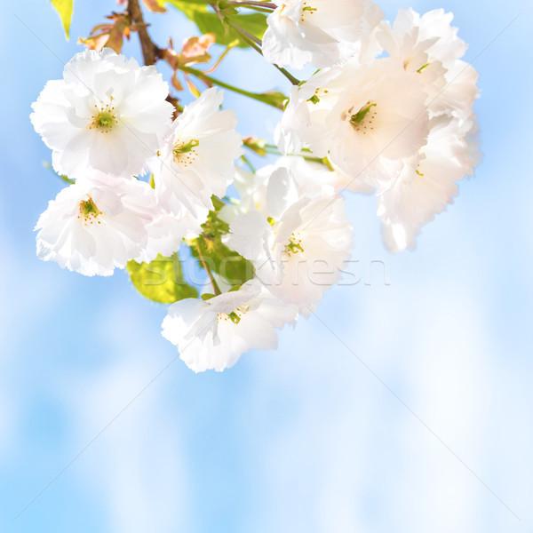 Beyaz sakura kiraz çiçekler çiçek bahar Stok fotoğraf © vapi