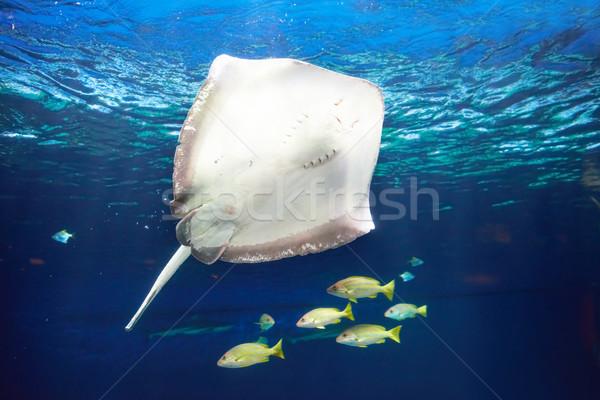 Manta ray floating underwater Stock photo © vapi