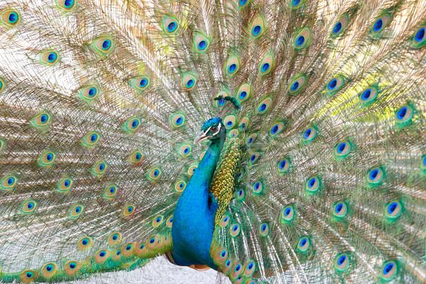 Peacock with open train. Stock photo © vapi