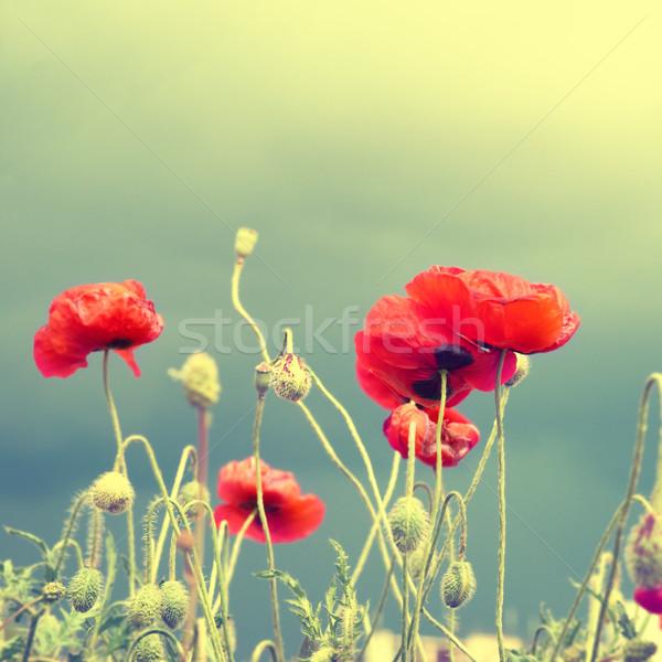 Pipacsok mező gyönyörű piros zöld fű instagram Stock fotó © vapi
