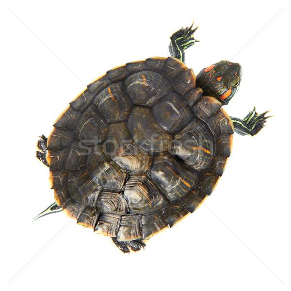 Red ear turtle Stock photo © vapi