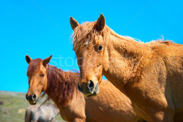 Herd of horses Stock photo © vapi