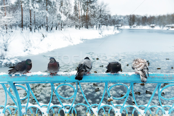 Group of pigeons Stock photo © vapi