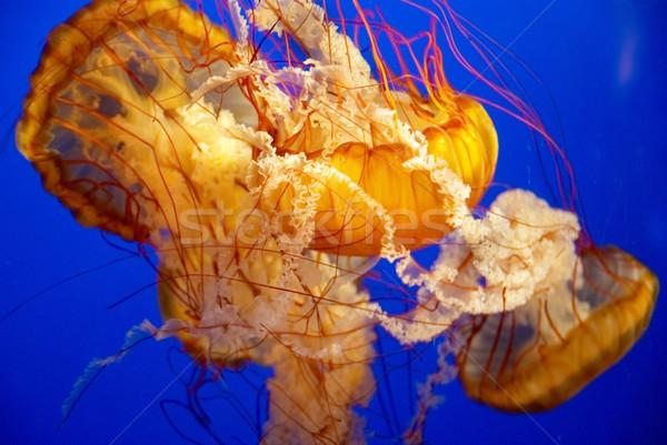 оранжевый медуз аквариум синий воды семьи Сток-фото © vapi