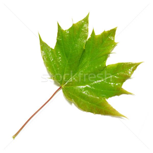 Verde umido foglia d'acero isolato bianco albero Foto d'archivio © vapi