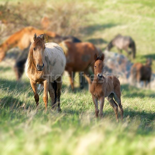 Nyáj lovak néz kamera mező zöld fű Stock fotó © vapi