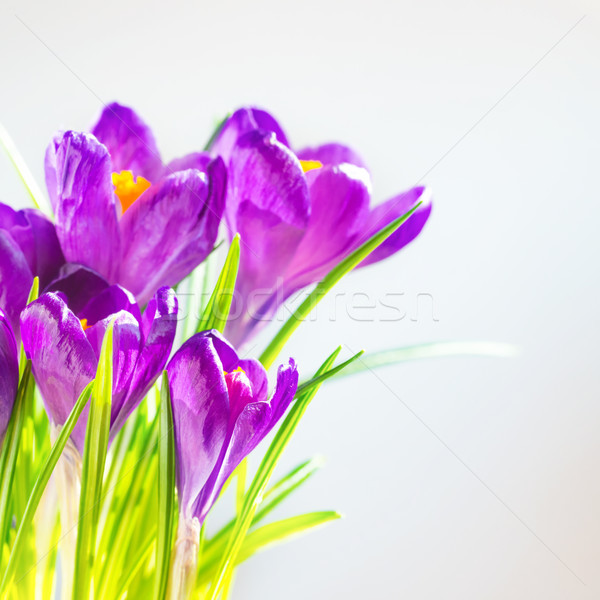 First spring flowers, bouquet of purple irises Stock photo © vapi