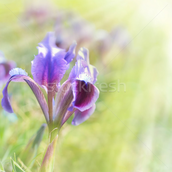 Flower iris on the green lawn Stock photo © vapi