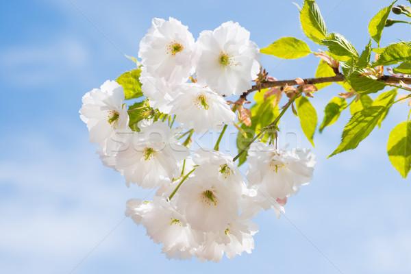 Branco sakura flores primavera cereja árvore Foto stock © vapi