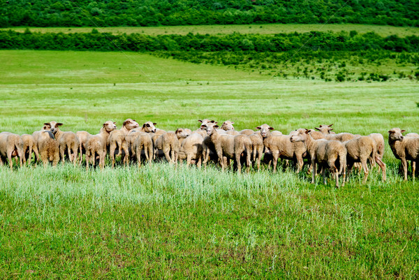 Herd of sheep Stock photo © vapi