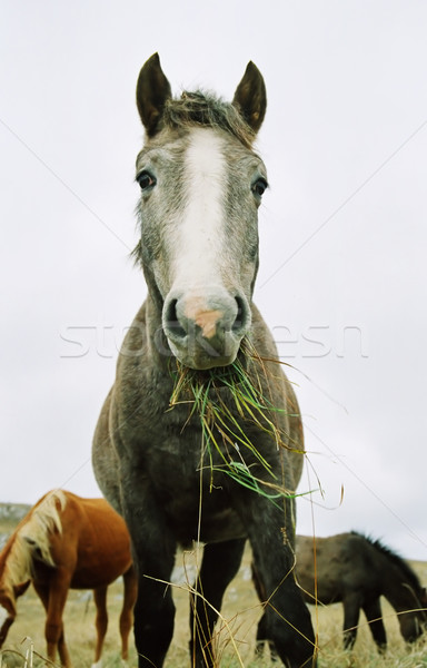 Horse chewing the grass. Stock photo © vapi