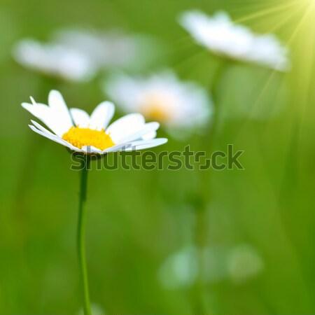 フィールド 緑の草 花 春 夏 緑 ストックフォト © vapi