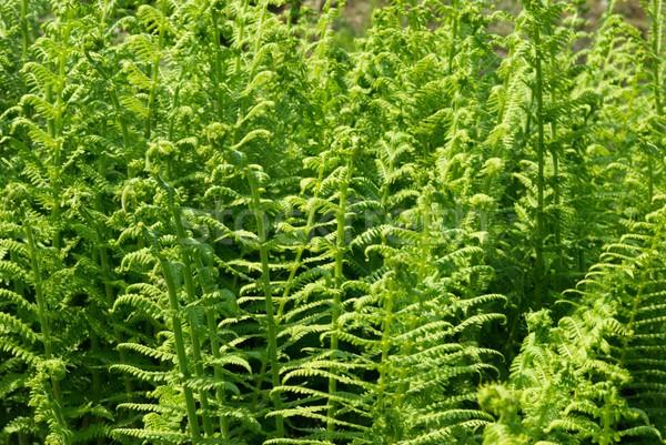 Young green fern Stock photo © vapi