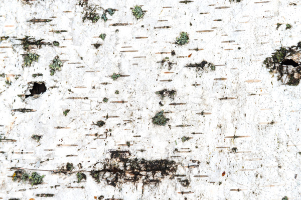 Texture of white birch bark Stock photo © vapi