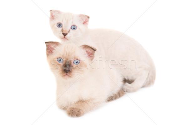 Two lying purebred kittens Stock photo © vapi