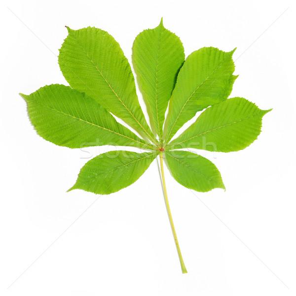 Gruppe Fuchs grüne Blätter isoliert weiß Baum Stock foto © vapi