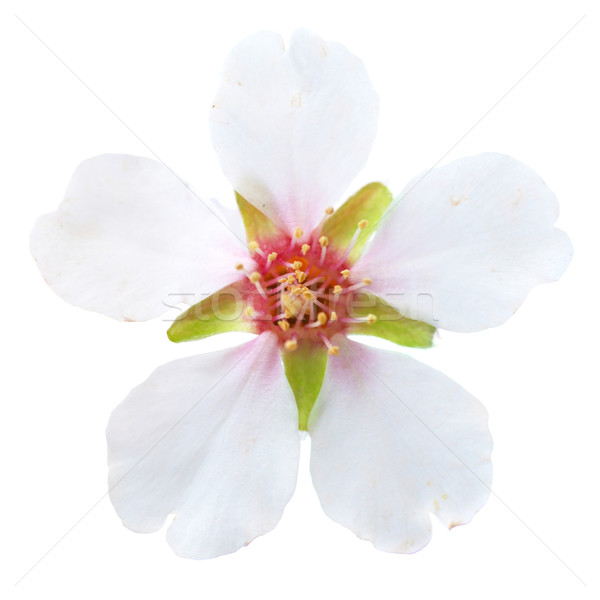 Almond white flowers Stock photo © vapi