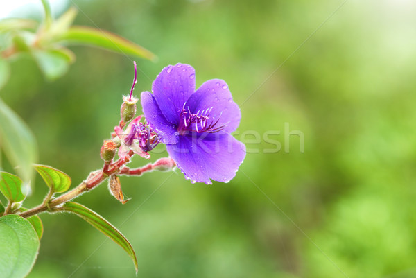 Blue flower with wet water drops Stock photo © vapi