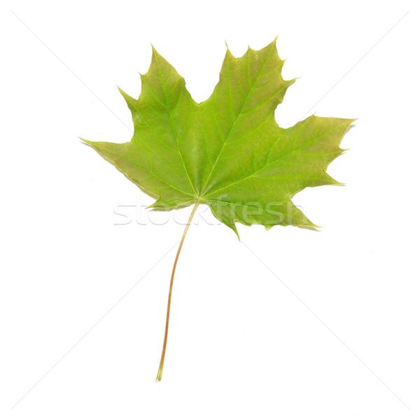 Verde maple leaf isolado branco árvore abstrato Foto stock © vapi
